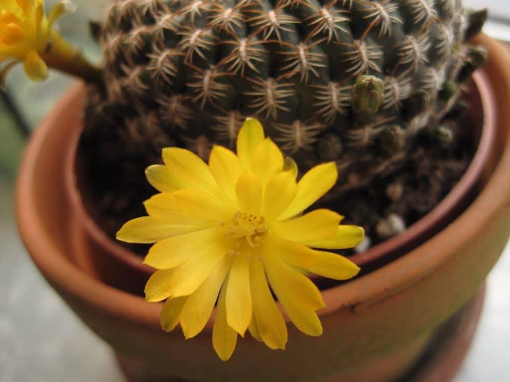 lille kaktus, blomst, gul, smukt, planter, green, fingers, grønne fingre, kaktus, cactus