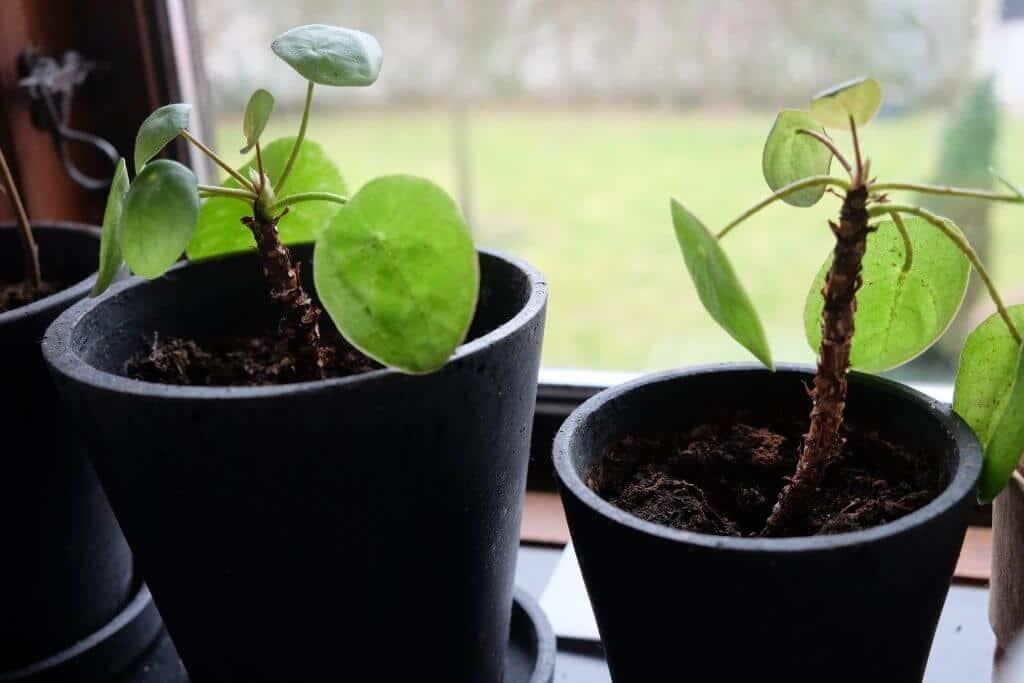 pilea, sådan gør du, smuk plante, omplantning, tips, grønne fingre