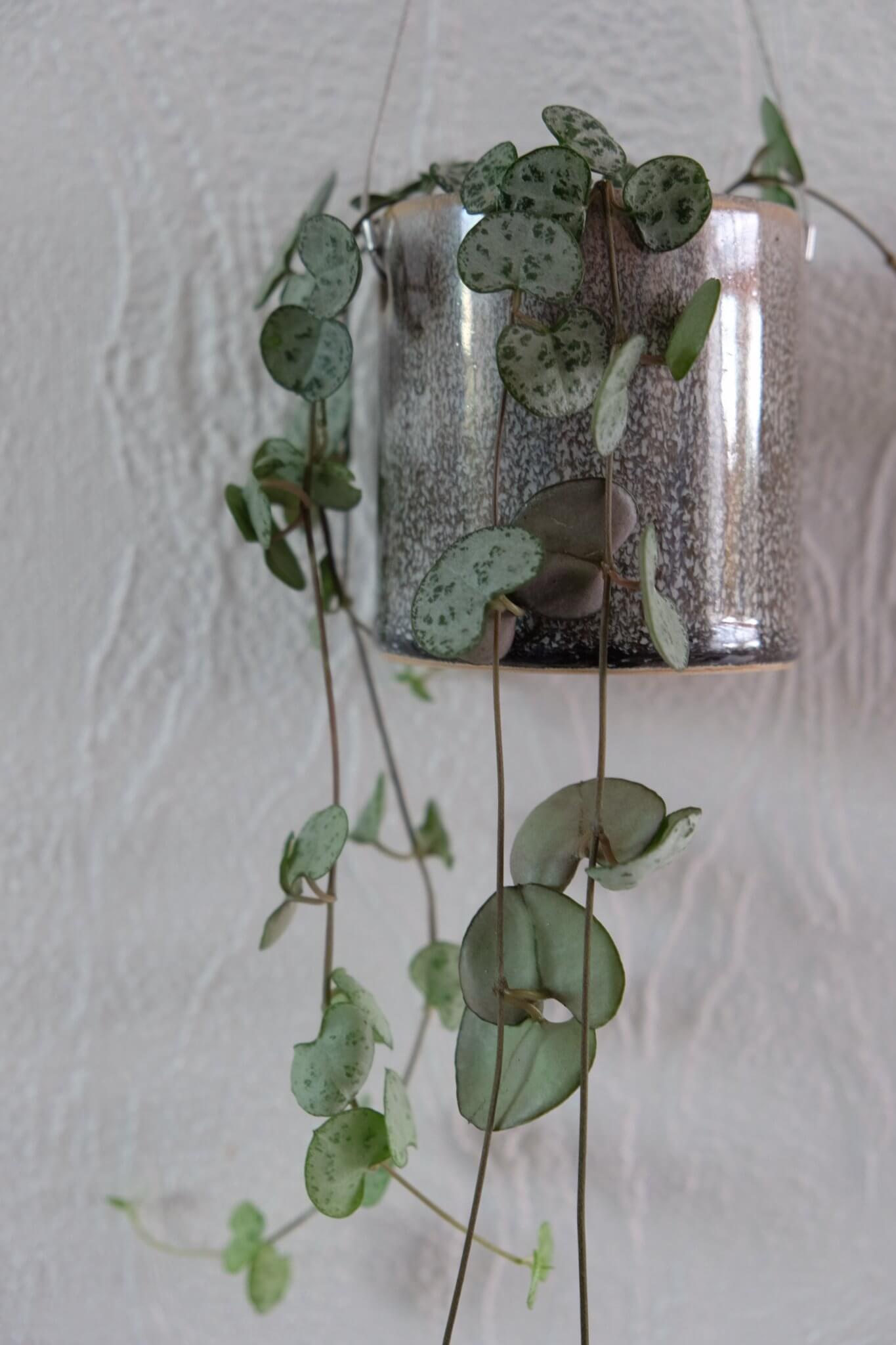 længe siden, fremtiden, mig, planter, hjerteplante, hjerterangle, grønt, grønne fingre